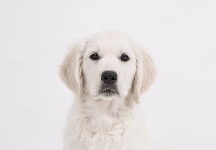 light cream golden retriever puppy