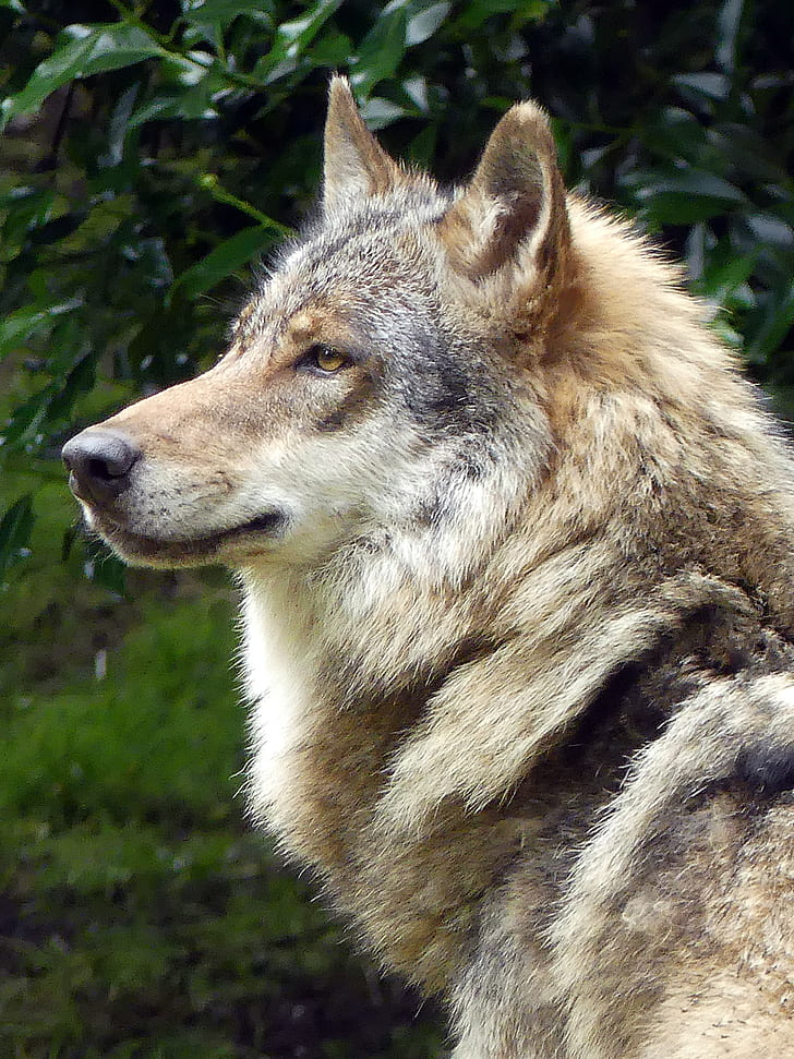 portrait photography of brown, gray, and black wolf