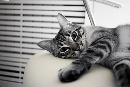 silver tabby cat near white venetian blinds photograph
