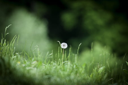 white dandelion flower in bloom on grass field