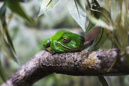 Closeup shot of a tree frog in Australia