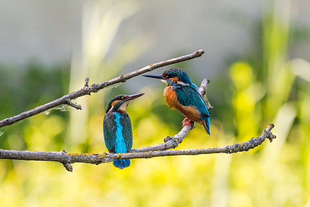 two blue birds on tree stems
