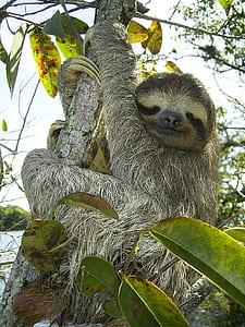 sloth in tree strem