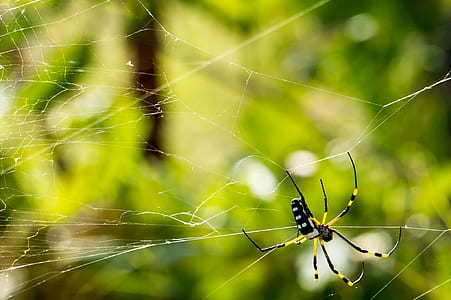yellow and black orchard spider in closeup photography