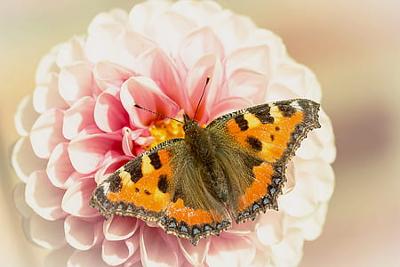 close-up photo tortoiseshell butterfly perched on pink petaled flower