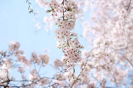 Korean Sakura