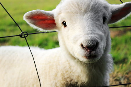 shallow focus photography of white sheep