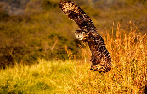 brown owl soaring near brown grasses during golden hour