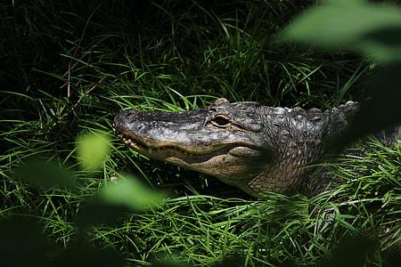 black and gray crocodile