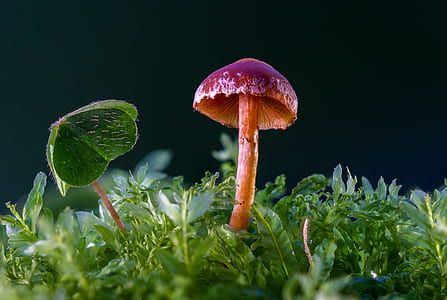 red and purple mushroom in macro photography