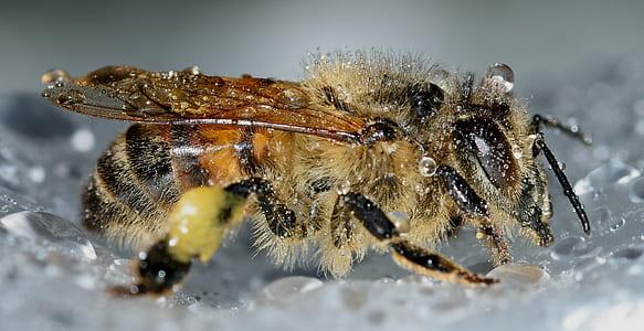 honeybee closeup photography