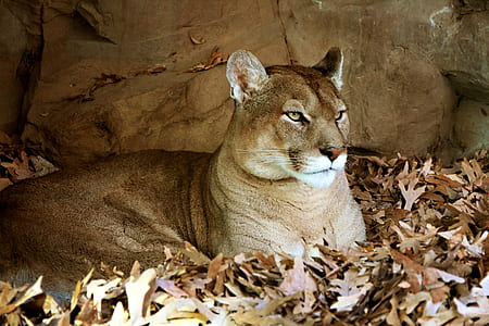 puma resting on brown withered leaves ground