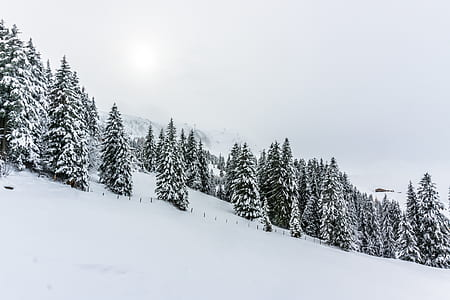 pine trees surrounded by snow