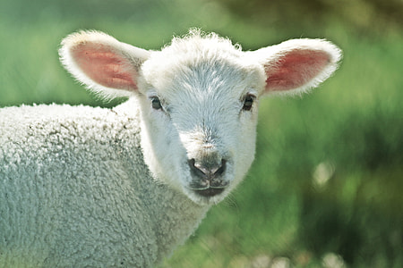 selective focus photography of sheep