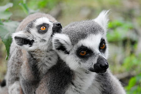 two white-and-gray lemurs