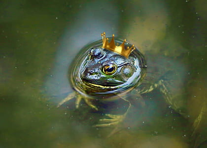 green frog with crown under body of water