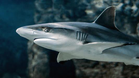 grey and black shark