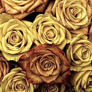 yellow and brown rose