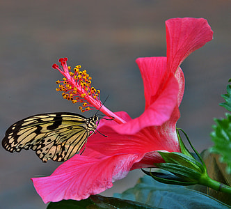 paperkite butterfly perched on pink hibiscus