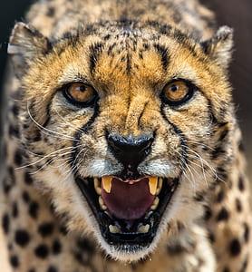 closeup of howling cheetah