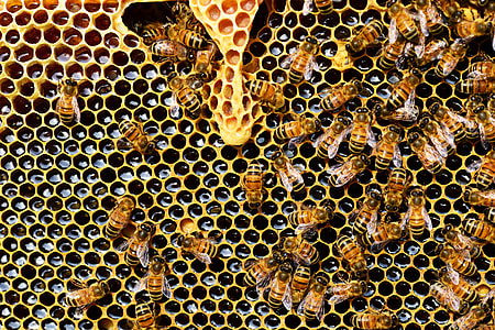 swarm of bees on honeycomb