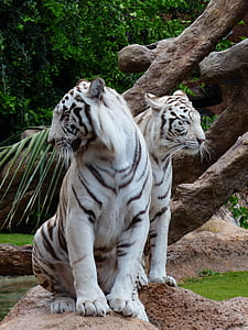 wildlife photo of two albino tigers