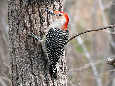 black and white woodpecker on tree