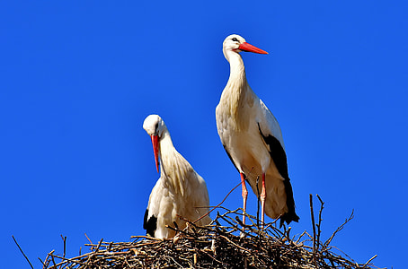 two white pelican birds on nest