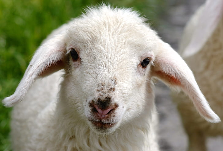 photography of goat