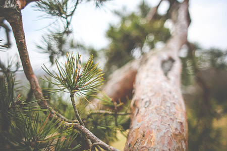 Conifer Tree Close Up