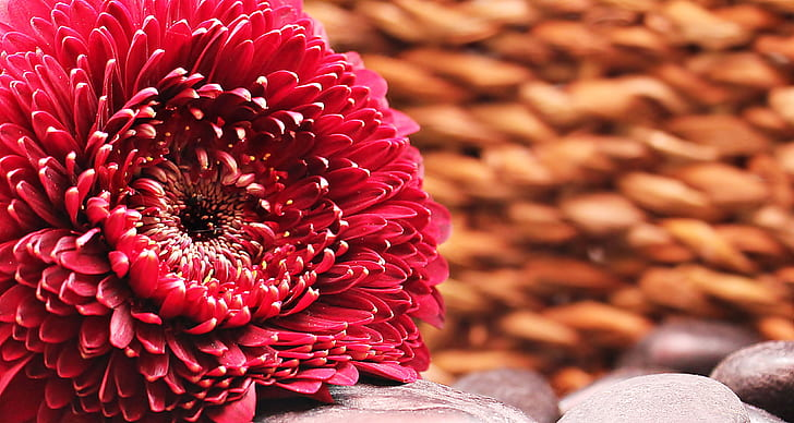 selective photo of red Gerbera flower