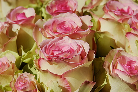 closeup photo of white-and-pink rose glowers