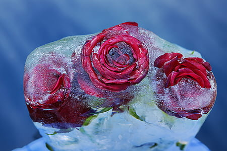three frozen red roses