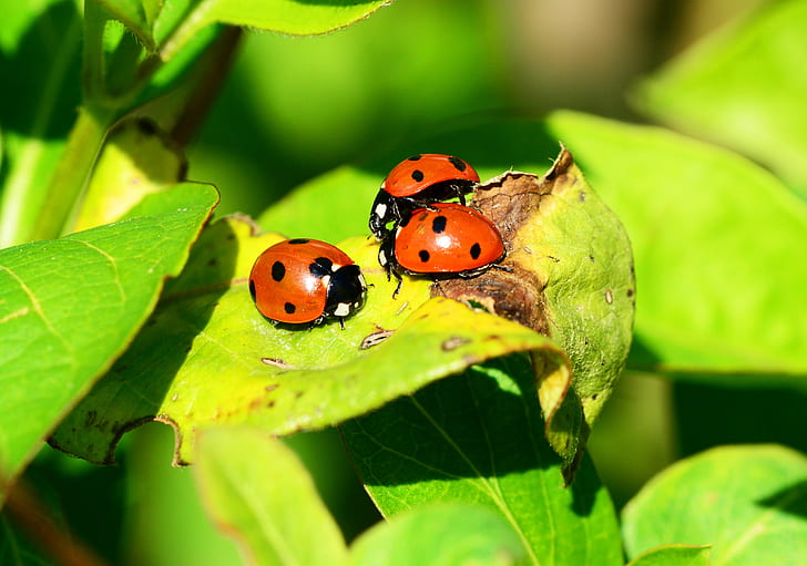 closeup photo of three lady bugs on green leaf plant