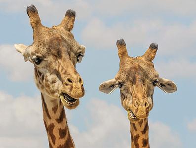 two Giraffe Head illustrations