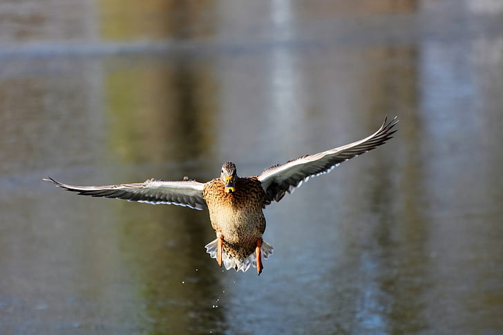 photo of soaring duck near body of water