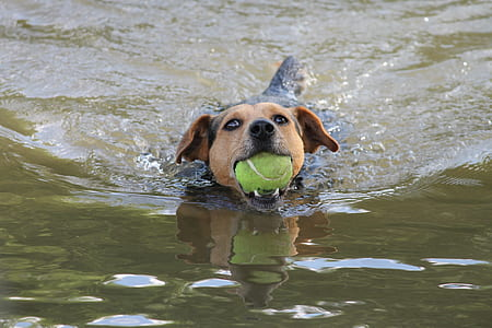 short-coated black and brown dog biting tennis ball on body of water