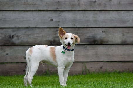 small short-coated white and tan dog standing on grass field