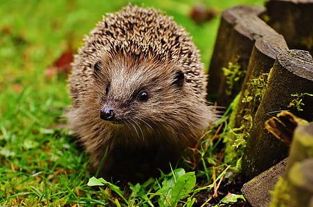 brown hedgehog