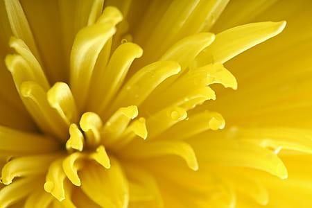 macro photography of yellow chrysanthemum flower
