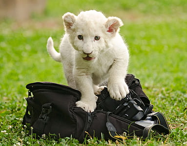 short-coated white animal sitting on black bag