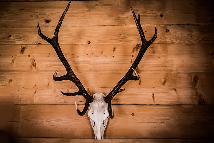 White Deer Skull With Black Antler Wall Decor Mounted On Brown Woodeen Wall