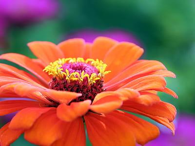 closeup photography of orange zinnia flower