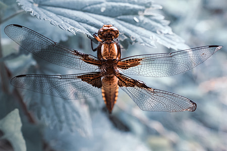 Macro shot of a dragonfly insect resting on a leaf