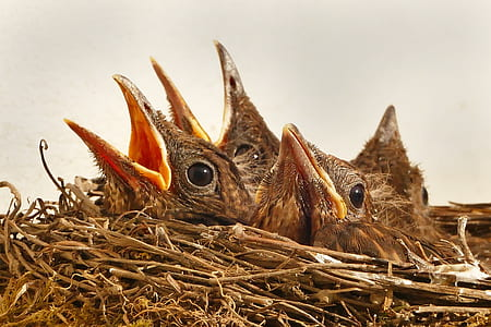 close-up photography of four brown fledgling birds on nest