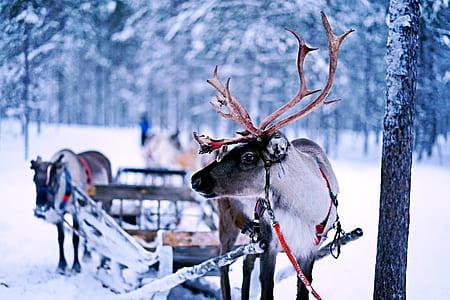 reindeer in snowfield
