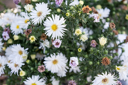 white daisy flowers lot