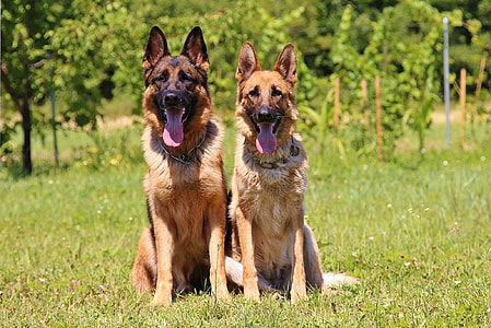 two adult brown-and-black German shepherds