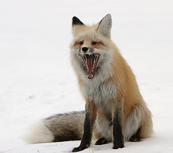 howling red fox
