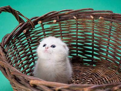 white persian kitten on brown wicker basket